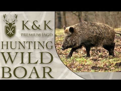 Wild Boar Hunting In Romania