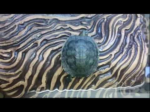 Как лечить красноухую черепаху в домашних условиях от пневмонии