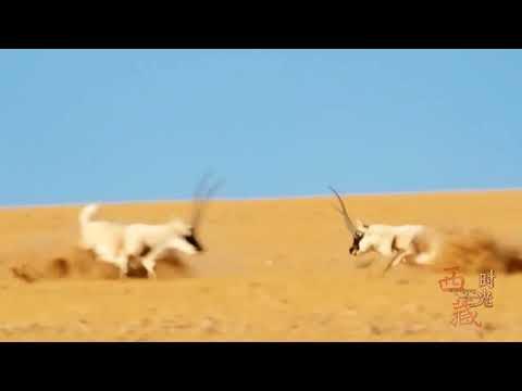 藏羚羊的爱情故事 The Love Story of Tibetan Antelope