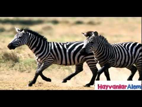 Zebra Sounds Mating Romantic Momen - Animals Sound Matin