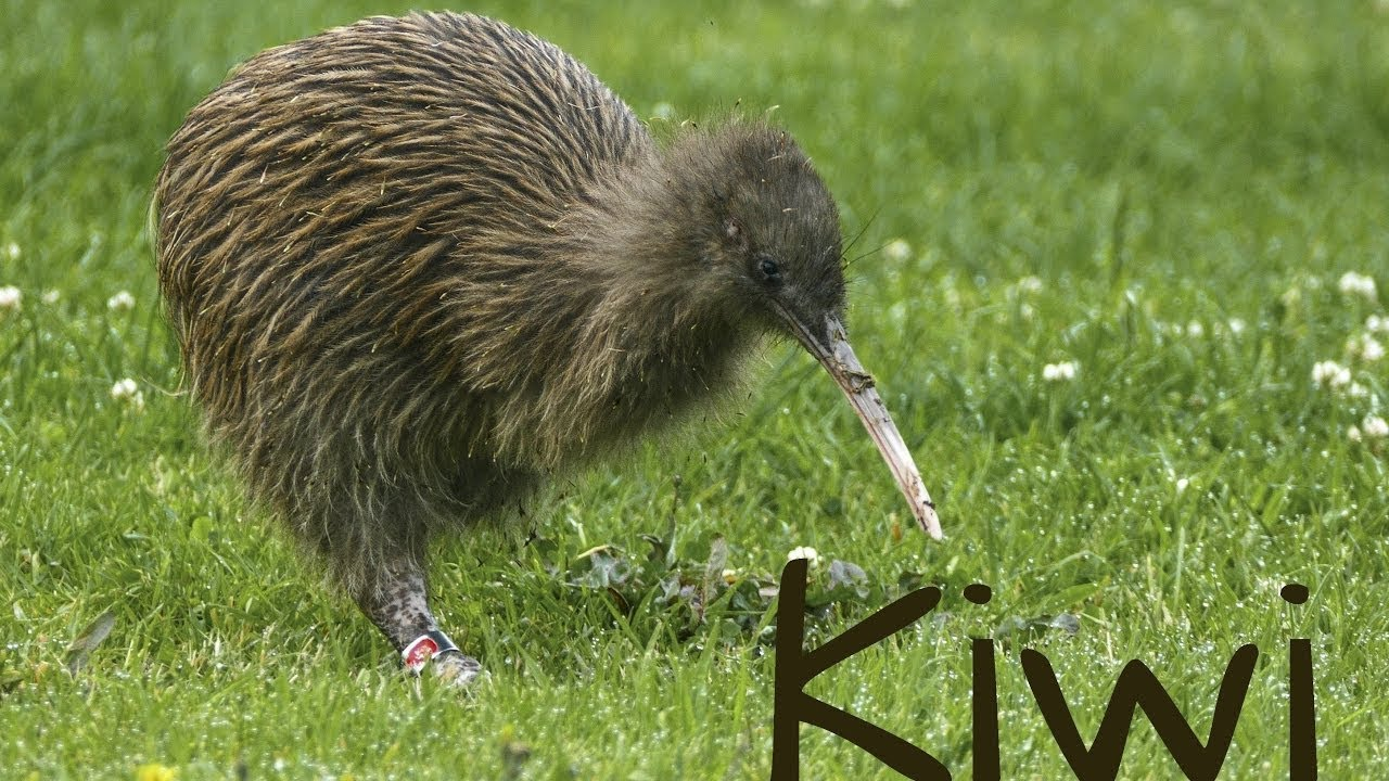 Amazing and Surprising Facts about Kiwi bird -The national animal of ...