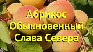 Абрикос обыкновенный. Краткий обзор, описание характеристик prunus armeniaca Слава Севера