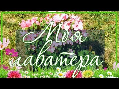 🌸 Цветок Лаватера однолетняя / Выращивание из семян в открытом грунте 🌼