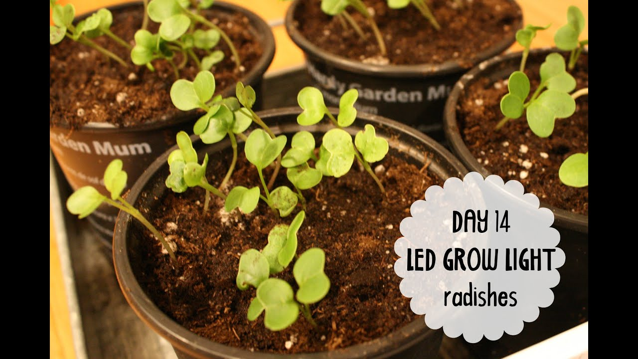Week 2 Taotronics Led 12w Grow Light Experiment Growing Radishes Spinach Indoors