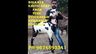 Pure Hyderabadi Bakra/Bakri/Kid /Goat Available For Sale|Animals Vlog Kolkata
