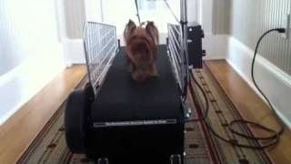 Arielle Teacup Yorkie On Treadmill