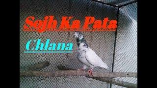 Parwazi kabotar ki sojh ka pta kasy chalta hy is video ma btaya gya...