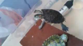 el hábitat de mis tortugas TSE(trachemys scripta elegans) tortuga japonesa