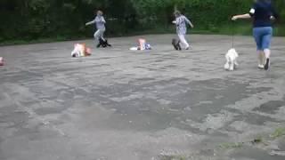 Выставка Курск 25.06.17 - пудели ЛПП