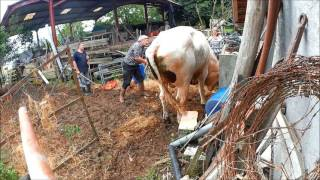 Sauvetage OABA : les bovins Edith et Marcel
