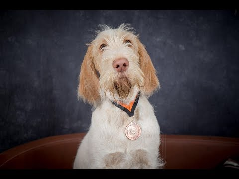 Millie - Italian Spinone Puppy - 2 Weeks Residential Dog Training
