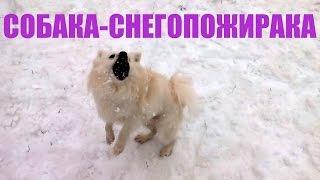 Собака-СНЕГОПОЖИРАКА!!