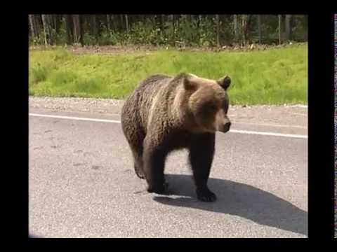 Медведи Ханты - Мансийск