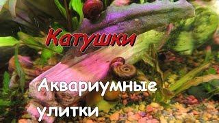 Улитки Катушки - самая распространенная улитка в аквариуме!