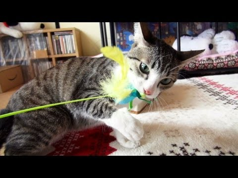 バッタに怒る猫 - Ohagi gets angry at a grasshopper toy. -