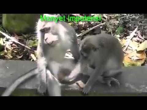 Funny Videos :The Impotent  Monkey