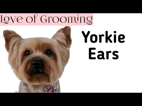 Yorkshire Terrier Ear Trimming