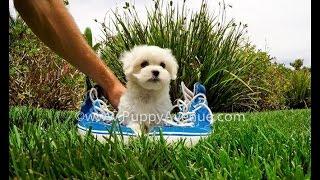 Blanca The Gorgeous Maltese Female Puppy For Adoption Near San Diego, Ca.