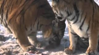 Artificial breeding saving Siberian tigers in China