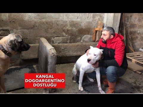 KANGAL vs DOGOARGENTİNO  PABLO VE BARONU ALIŞMALARI İÇİN YAN YANA KOYDUM #dogoargentino #kangal #dog