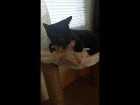 Manx cat and black cat