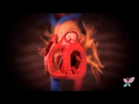 el-funcionamiento-del-sistema-circulatorio