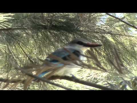Beautiful bird (Alcedines)
