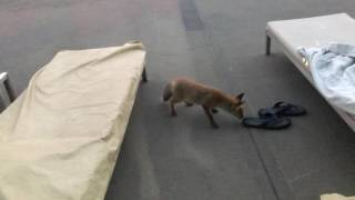 Cute Fox Invades Hotel and Steals Guest's Shoe