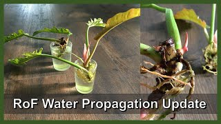 Update   Water Propagation Philodendron Ring of Fire   New Roots and Leaves