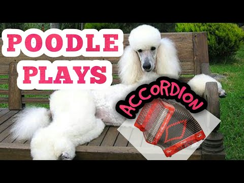 POODLE PLAYING ACCORDION // BEST CRAZIEST Dog trick ever! Show Dog
