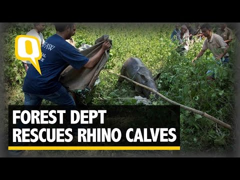 The Quint: Assam Floods: Rhinos, Deer and 18 Lakh People Displaced