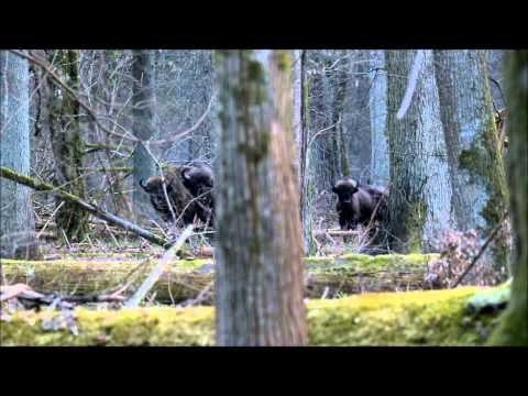 Bialowieza Forest European bison from Strict Reserve