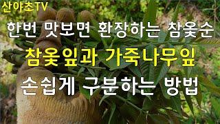 한번 맛보면 환장하는 참옻새순과 참옻잎과 가죽나무잎 손…