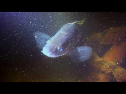 ЧТО ДЕЛАЕТ СУДАК НОЧЬЮ. Sander lucioperca О чём молчат рыбы 63