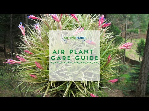 How to Care for Air Plants? | Light, Air and Water | Air Plant Planet