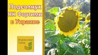 Подсолнух НК Фортими в Украине