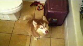 Husky pup arguing about taking a bath thumbnail