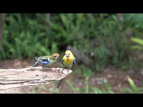 Paleheaded Rosella feeding baby