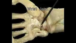 Видео. Анатомия человека. Кисть.