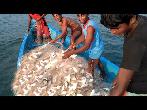 Awesome Sea Fishing -  Boys Sort Their Catch of live Fish