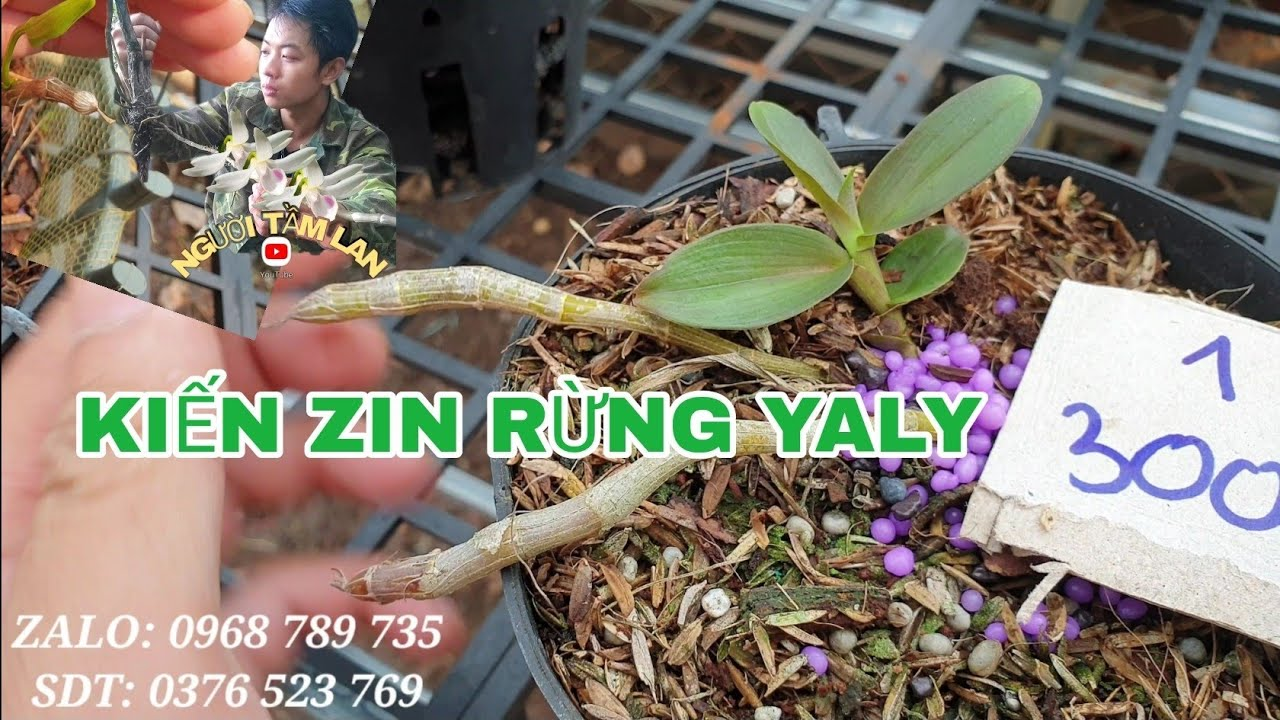 (Em hết ạ) Kiến Zin Rừng Yaly Lá Nhựa, Khỏe, Đẹp Thuần Chậu | SDT 0376 523 769