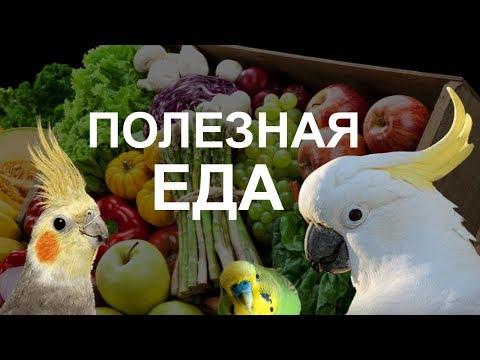 Вопрос: Что для попугайчика кореллы будет лакомством еще, кроме яблок и огурцов?