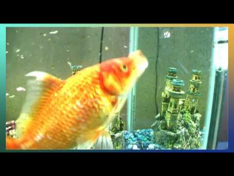 Big tropical gold fish swimming in aquarium youtube for Large aquarium fish