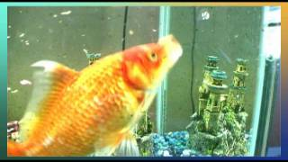 Big tropical gold fish swimming in aquarium