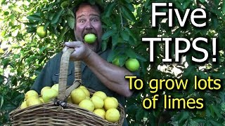 5 Tips How to Grow a Ton of Limes on One Tree - Totally Organic!