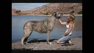 Все породы собак.Ирландский волкодав (Irish Wolfhound)