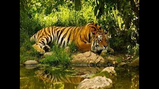 Болотные тигры.