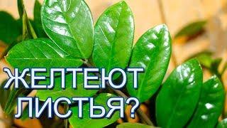 Замиокулькас - желтеют листья: почему и что делать (видео)