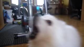 Собака смешно лает! Песня из лая собаки! Всем смотреть, очень смешная собака!)Ремикс