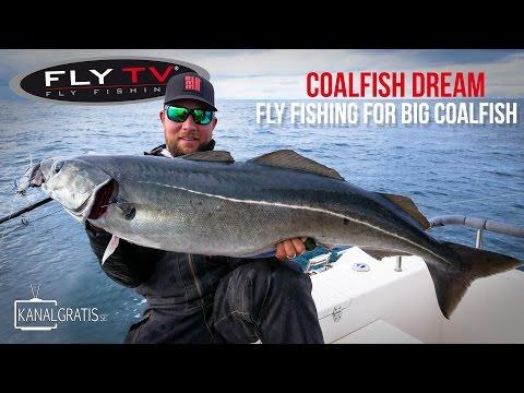 FLY TV - Coalfish Dream - Fly Fishing for Big Coalfish